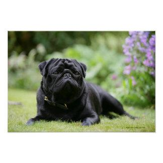 Black Pug Laying Down Poster