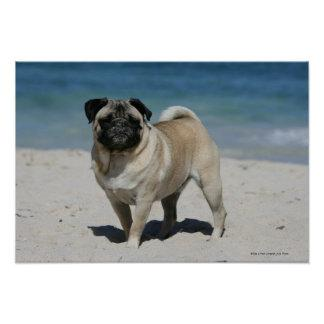Fawn Pug at the Beach Poster